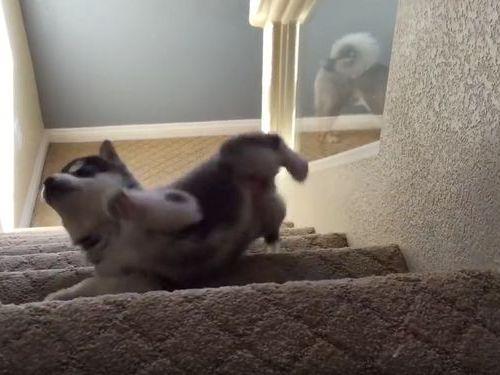 ハスキーの子犬と階段03