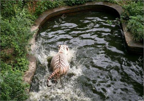 虎vsホワイトタイガー11