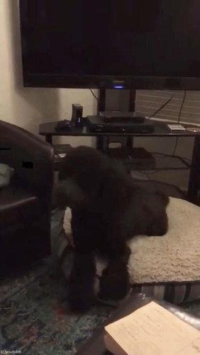 テレビが消えると「よいこは寝る時間」と自室に戻る犬05