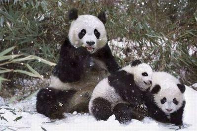 雪で大はしゃぎのパンダ親子08