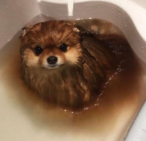 ポメラニアンが水に溶ける03