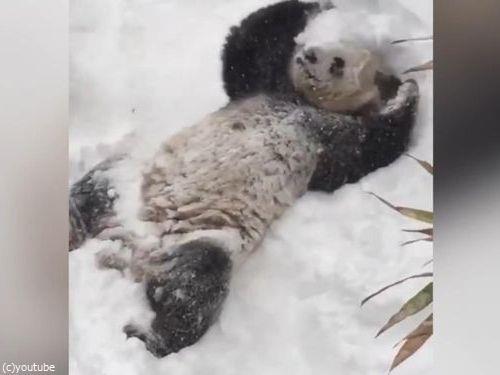 スミソニアン動物園のパンダ09