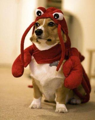 コーギー犬コスプレ06