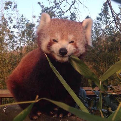 笹を食べるレッサーパンダ04