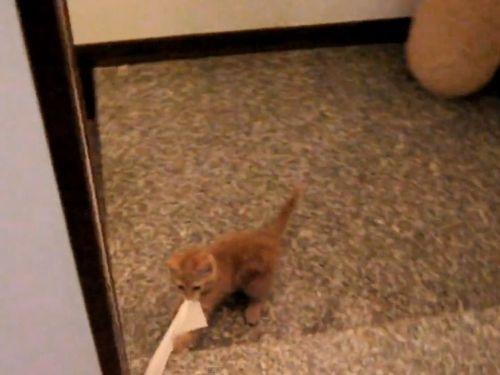 トイレットペーパーを引っ張る子猫01
