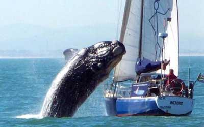 40トンの鯨がヨットに攻撃01