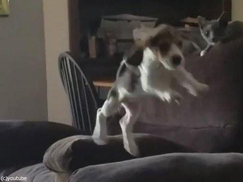 隣のソファーに飛び移ろうとする犬04
