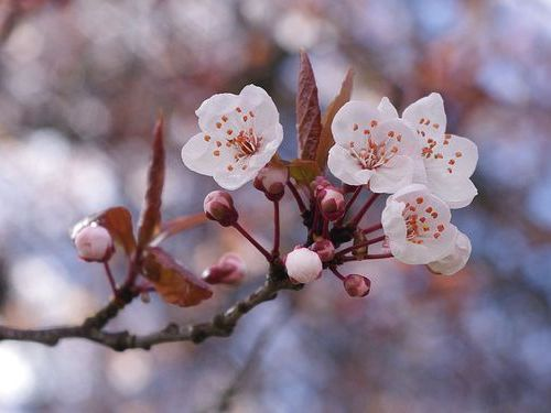 川を埋め尽くす桜の花びら00