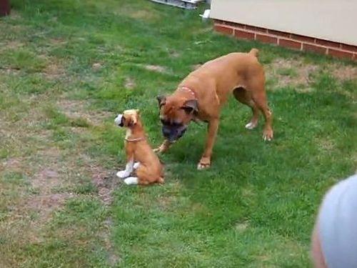 犬のフィギュアに興奮する犬01
