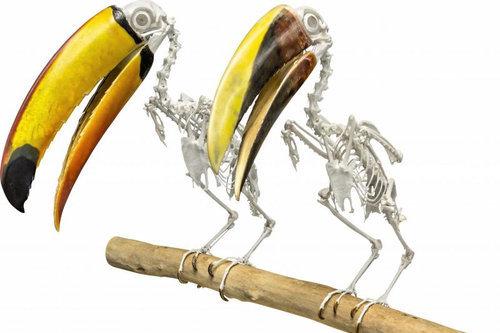 オオハシの骨格08