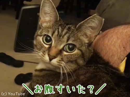 お腹空いた?と聞くとお返事する猫様00