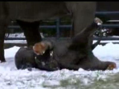 雪ではしゃぐ子ゾウ
