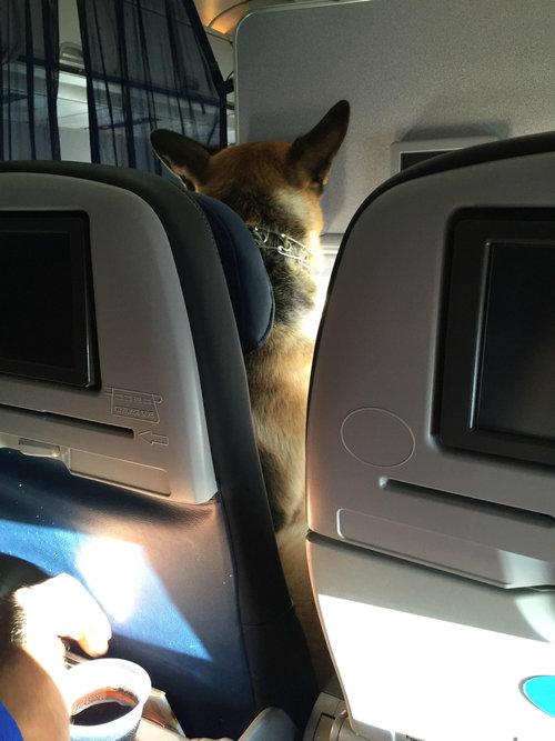 飛行機にシェパード01