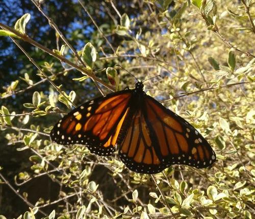 蝶の羽を移植06