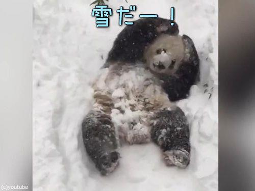 スミソニアン動物園のパンダ00