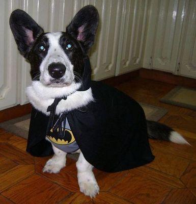 コーギー犬コスプレ15