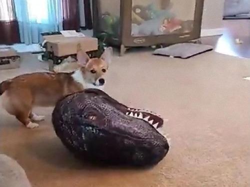 コーギー犬が恐竜になる00