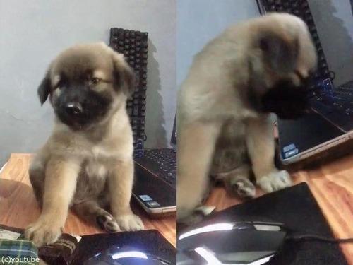 パソコンの横でうとうとする子犬01