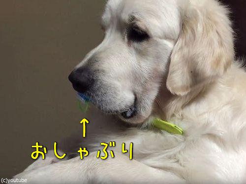 犬「おしゃぶりは渡さぬ」00