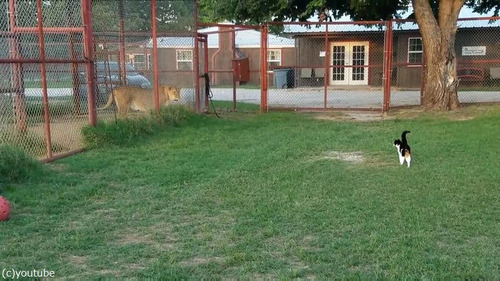 ライオンを挑発する猫02