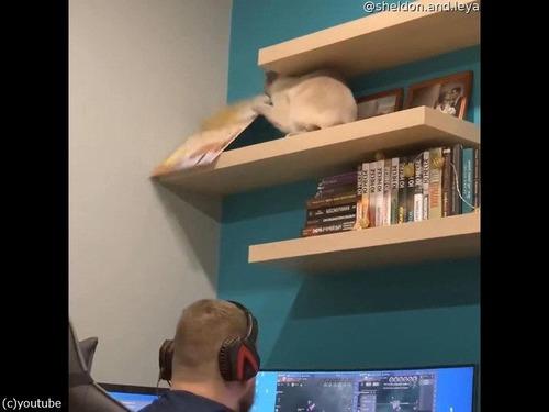 頭上の棚から物を落とす猫00