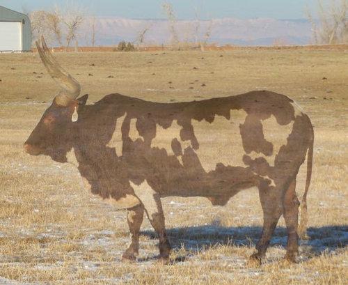 部分的に透明に見える牛04