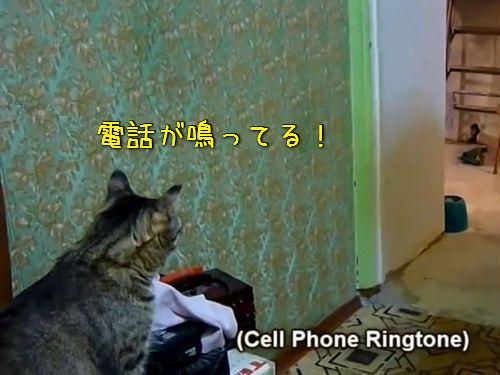 電話が鳴るとケータイを持ってくる猫00