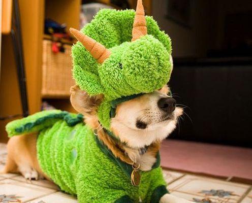 コーギー犬コスプレ23