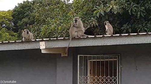 ケガした猿が家族の元へ05