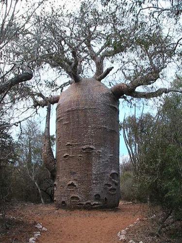 バオバブの木13