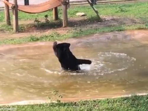 保護されたクマ、初めてのプール03