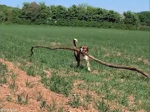 大きな枝を拾ってくる犬00