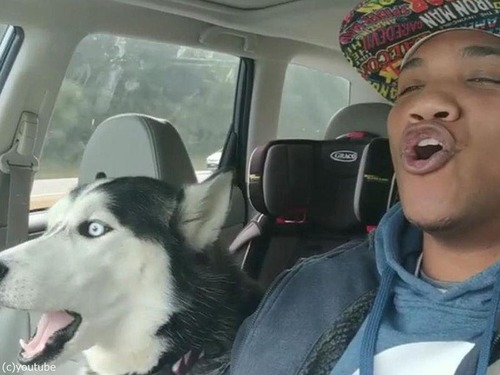 飼い主さんの歌声に遠吠えでハモってくれる犬01