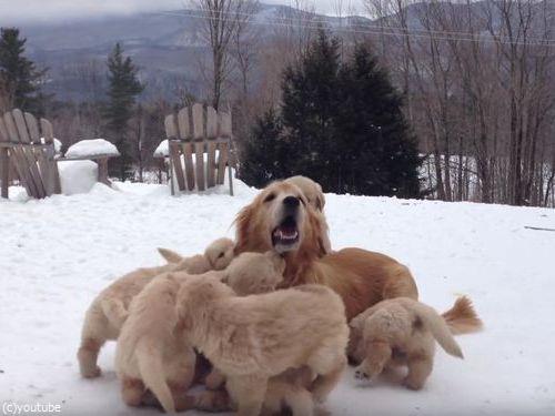 ママ犬とじゃれる子犬たち01