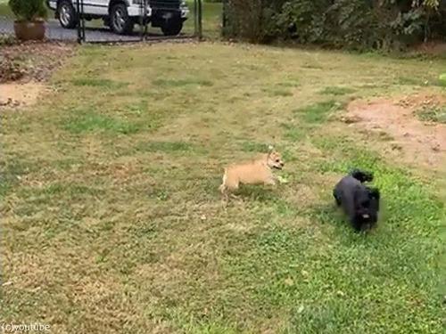 犬の赤ちゃんが追いかけっこの途中でパタリ01