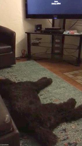 テレビが消えると「よいこは寝る時間」と自室に戻る犬01