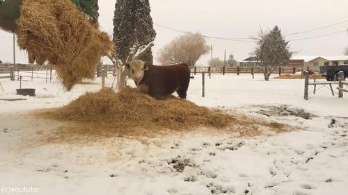 新しいベッドにはしゃぐ牛がかわいいいいい03