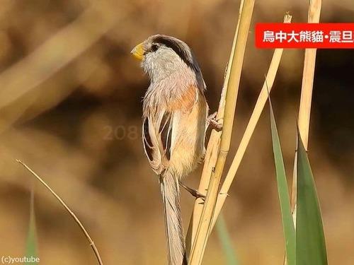 「鳥類のパンダ」01