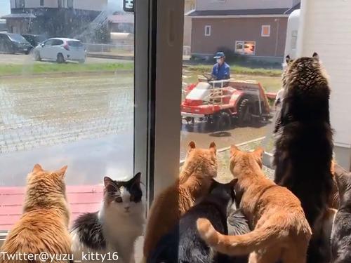 田植えに夢中な猫たち00