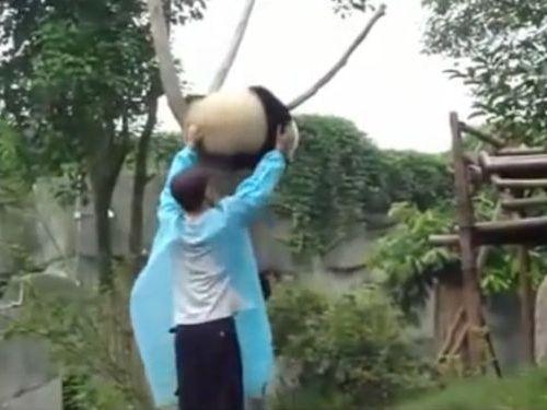 木登りパンダ01