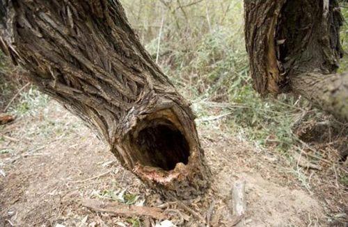 木に飲み込まれた男性04