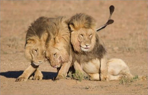 酔いつぶれたライオン02