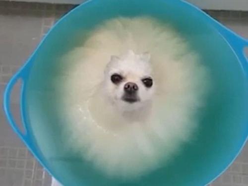 お風呂のポメラニアン01