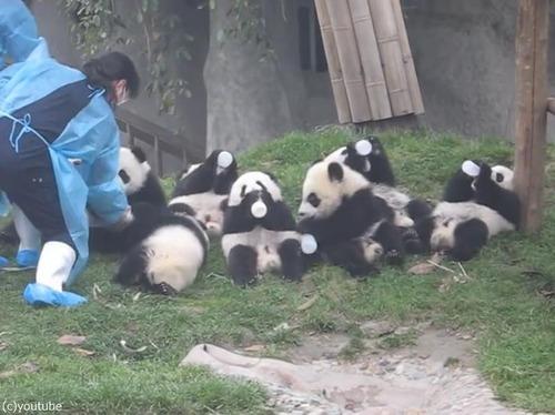 パンダの赤ちゃん01