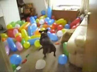 150個の風船をひたすら割り続ける犬