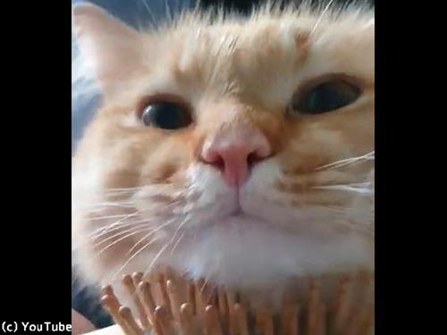 ブラシに夢中な猫、世界一幸せそう00