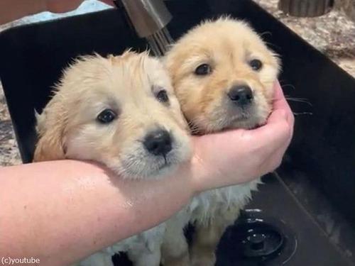 小犬2匹を同時にシャワーするコツ00