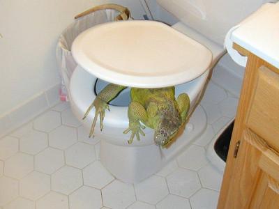 イグアナ トイレ