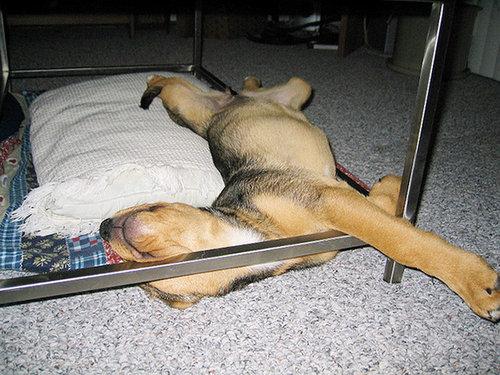 子犬はどこでも寝れる15