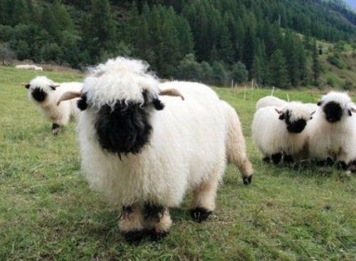 世界一かわいい羊01